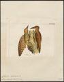 Celeus loricatus - 1820-1860 - Print - Iconographia Zoologica - Special Collections University of Amsterdam - UBA01 IZ18700323.tif