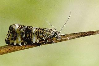 Olethreutinae Subfamily of moths
