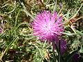 Centaurea calcitrapa capitulum and leaves.JPG