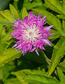 Centaurea dealbata 'Steenbergii'. Locatie, De Kruidhof Buitenpost 01.jpg