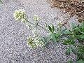 Centranthus ruber sl5.jpg