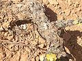 Cepas Viejas Ecológicas y nido de la familia los aláudidos en la Sierra de Salinas, Yecla (Murcia).JPG