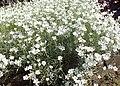 Cerastium biebersteinii kz02.jpg