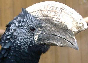 Silvery-cheeked hornbill - Image: Ceratogymna brevis JA