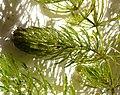 Ceratophyllum demersum 240907.jpg