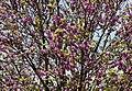 Cercis siliquastrum - Judas tree 11.jpg