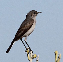 Cercomela schlegelii -Northern Cape, South Africa-6.jpg