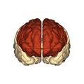 Cerebrum - frontal lobe - anterior view.png