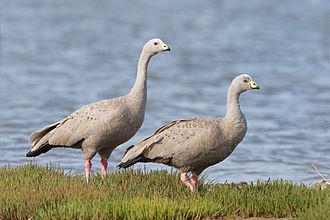 Cape Barren goose - Pair in Tasmania