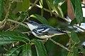 Cerulean Warbler (male) Anahuac NWR-Jackson Prairie Woodlot TX 2018-04-24 14-50-13 (27187735057).jpg
