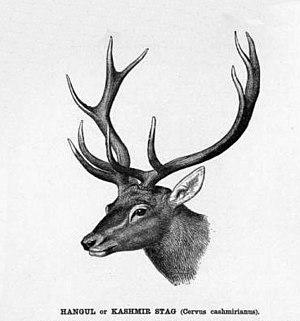 Cervus elaphus hanglu or Kashmir stag