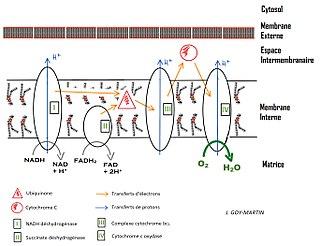 7af6598134b72b Chaîne respiratoire des mitochondries simplifiée