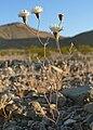 Chaenactis carphoclinia var carphoclinia 11.jpg