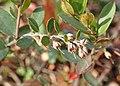 Chamaedaphne calyculata kz01.jpg