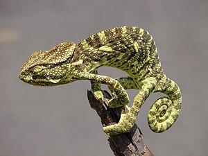 Indian chameleon - Indian chameleon