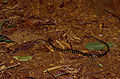 Checkerbelly Snake (Siphlophis cervinus) (10673412436).jpg