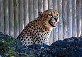 Cheetahclose.jpg