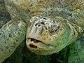 Chelonia mydas albino p1440273.jpg