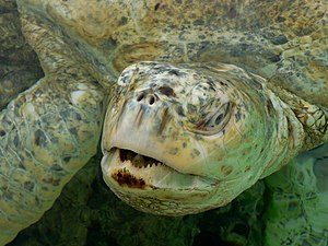 English: Green turtle (Chelonia mydas), albino...