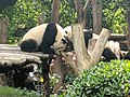 Chengdu Research Base of Giant Panda Breeding, 201907, 09.jpg