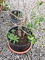 Chenopodium glaucum sl4.jpg