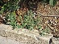 Chenopodium vulvaria sl87.jpg