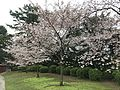 Cherry blossoms near Ube Biennale Hill of Sculptures in Tokiwa Park.jpg
