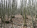 Chestnut coppicing - geograph.org.uk - 699527.jpg