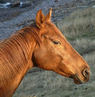 Equine conformation - A pig-eyed horse