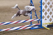 A Chinese Crested participating in an agility competition