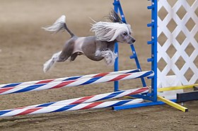 Dog Agility Wikipedia