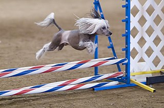 Dog agility Dog sport