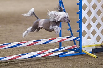 Dog agility - A hairless Chinese Crested taking part in an agility competition.