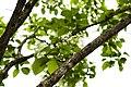 Chionanthus retusus - Chinese Fringetree - 15.jpg