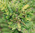 Chirosia grossicauda - anthomyiid fly gall on bracken - Flickr - S. Rae.jpg