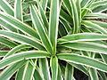 Chlorophyttum comosum variegatum-bsi-yercaud-salem-India.JPG