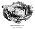 Chou de Hollande tardif Vilmorin-Andrieux 1904.png