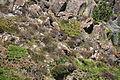 Choughs above Kynance Cove (8101).jpg