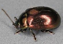220px-Chrysolina_brunsvicensis,_Marford_