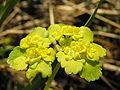 Chrysosplenium alternifolium beentree.jpg