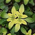 Chrysosplenium nagasei (flower s4).jpg