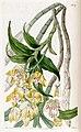 Chysis aurea - Edwards vol 23 pl 1937 (1837).jpg