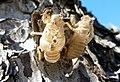 Cicada Skins (6037823689).jpg