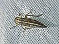 Cicadella viridis (Cicadellidae) - (nymph), Arnhem, the Netherlands.jpg