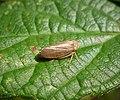 Cicadellidae, Macropsis fuscula (38036725471).jpg