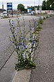 Cichorium intybus 5.jpg