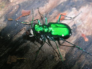 <i>Cicindela</i> Common tiger beetles