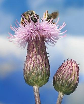 Cirsium arvense - Image: Cirsium arvense with Bees Richard Bartz