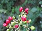 Cissampelos pareira fruits.JPG