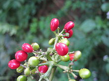 220px-Cissampelos_pareira_fruits.JPG
